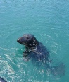 Seal in Newquay Harbour
